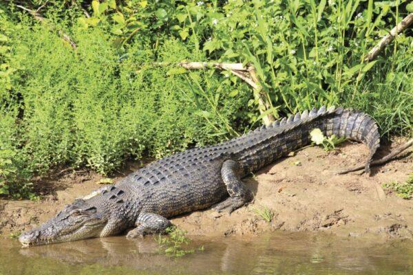 Crocodile tour Queensland