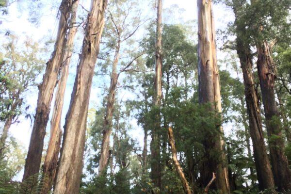rainforest in Victoria australia